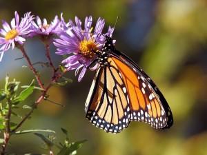 Scurich Insurance Services, CA, Monarch Butterflies